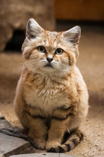 Кот, который похож на енота
