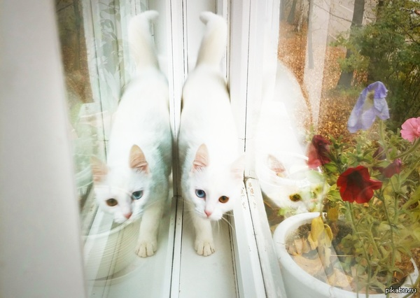 Белая кошка отдыхает в окне