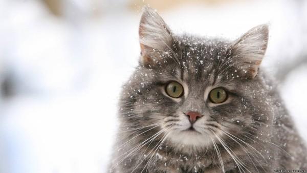 Серая пушистая кошка