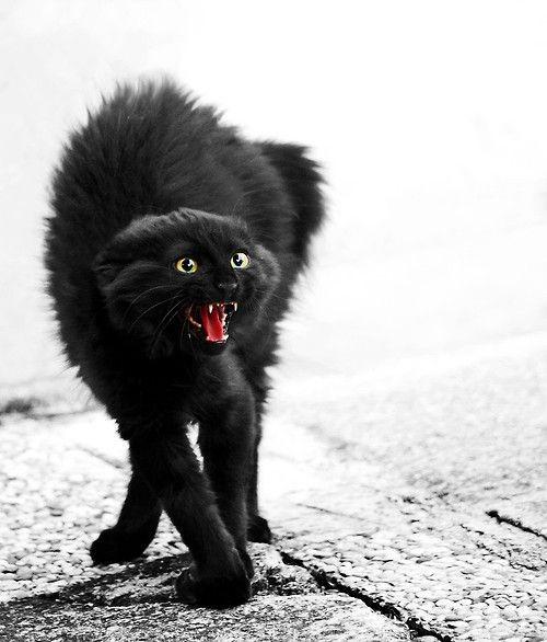 Фото черных пушистых кошек