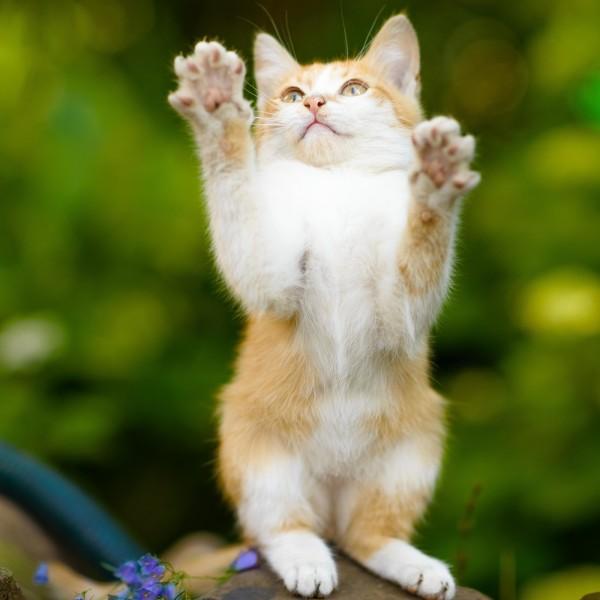 Бело-рыжий котенок — рррр закусает