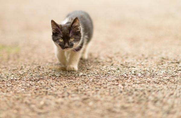Черно белый пушистый котенок