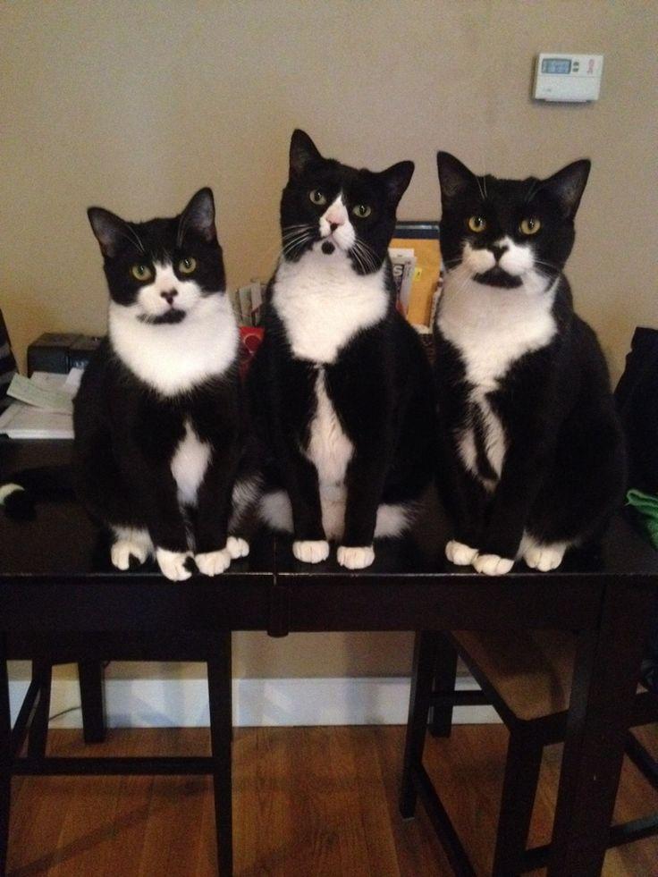 3 черно-белых кота