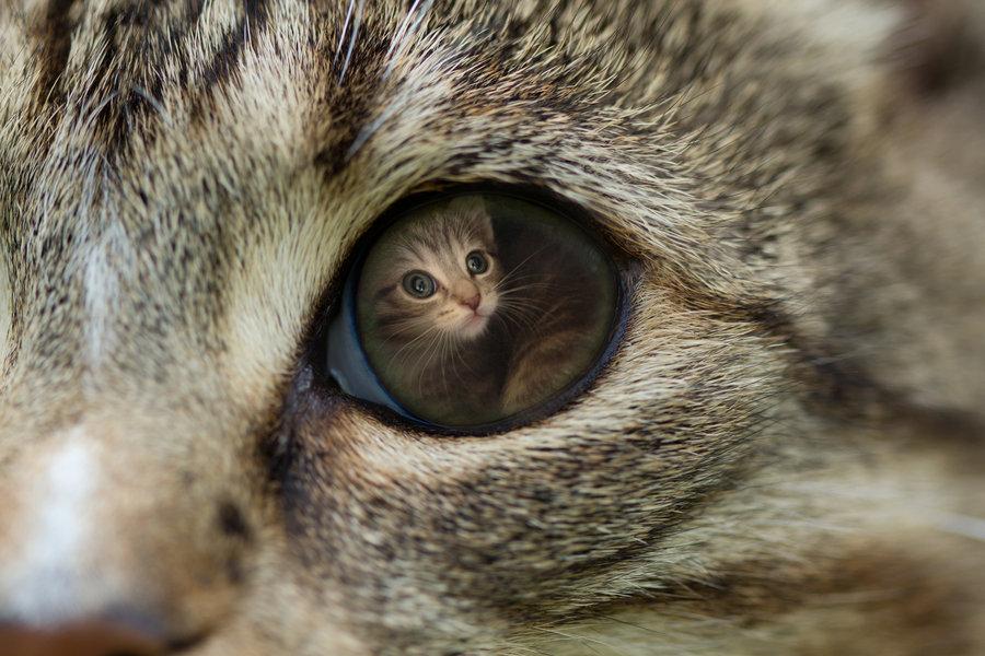 Маленький котенок отражается в глазе кошки мамы