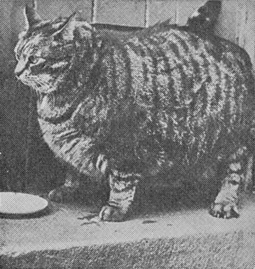 Очень толстые котики