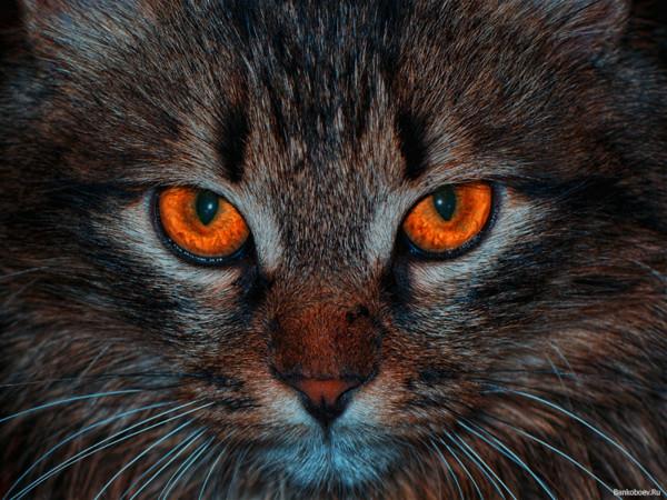 Рыжий кот с рыжими глазами