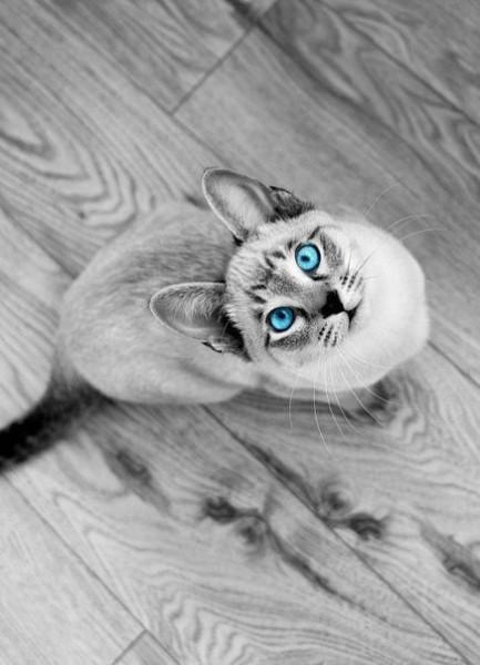 Красивый породистый кот с голубыми глазами