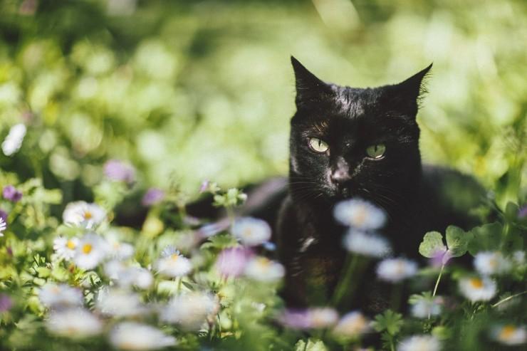 Черная кошка магическое животное