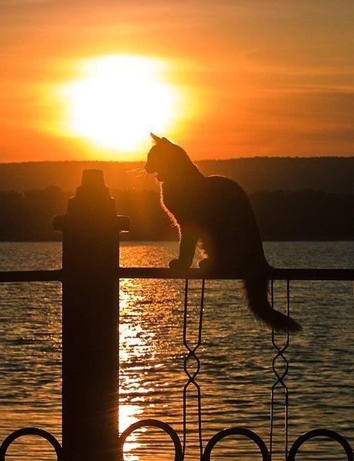 Дикая кошка встречает закат