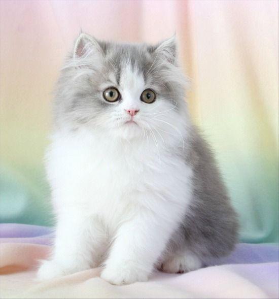 Пушистый серо-белый котенок