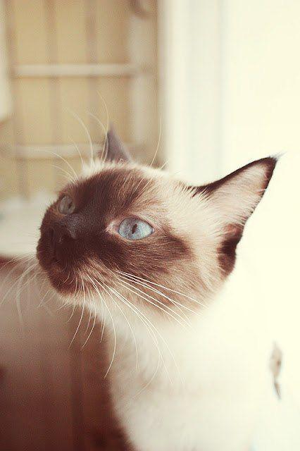 Красивая сиамская кошка