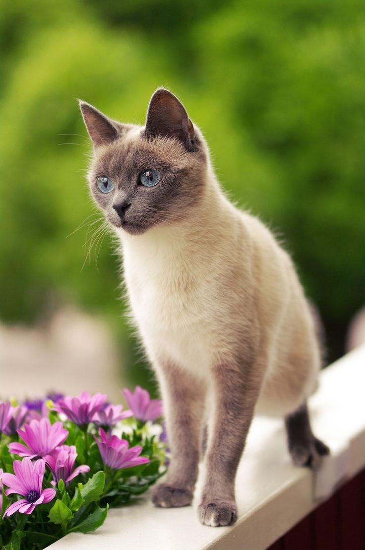 Сиамский котенок на летнем саду