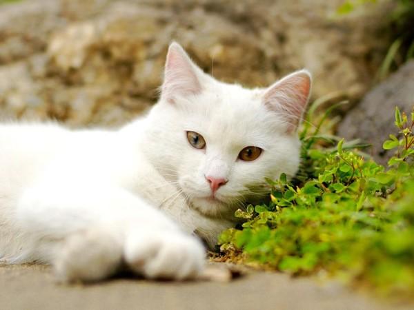 Белая кошка отдыхает