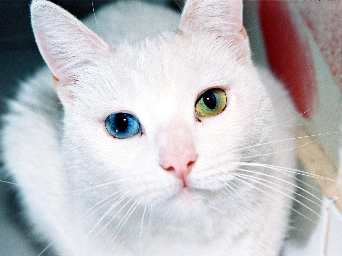 Кот с зелеными и голубыми глазами