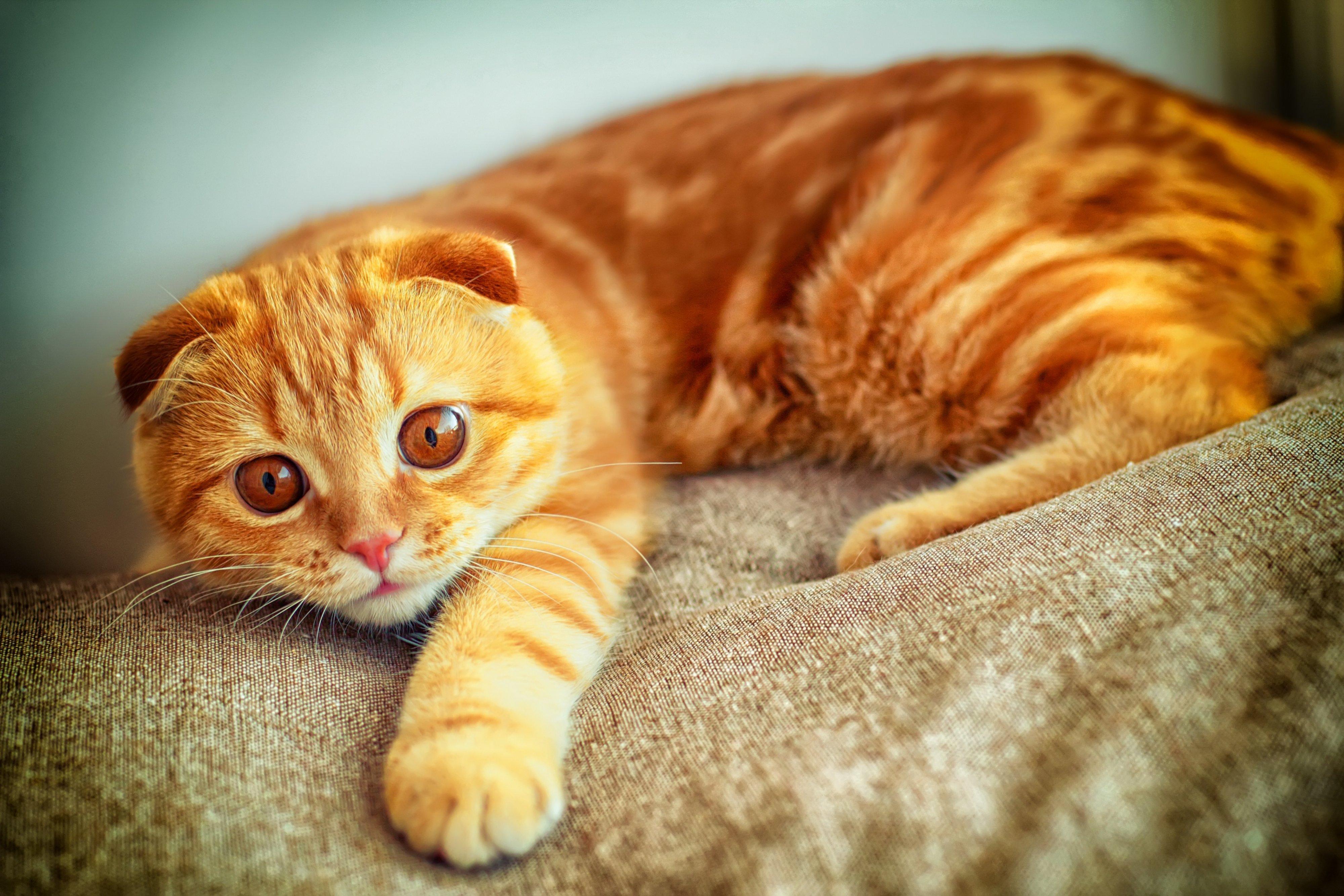 Фото рыжих шотландских котов