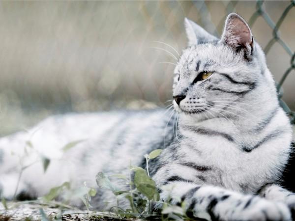 Большая серая кошка