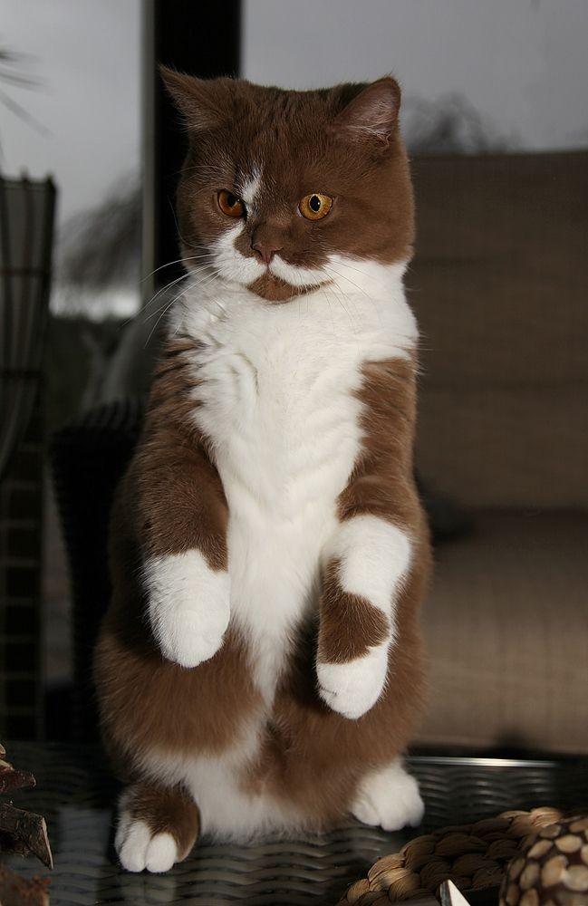 Кот цвет шоколад