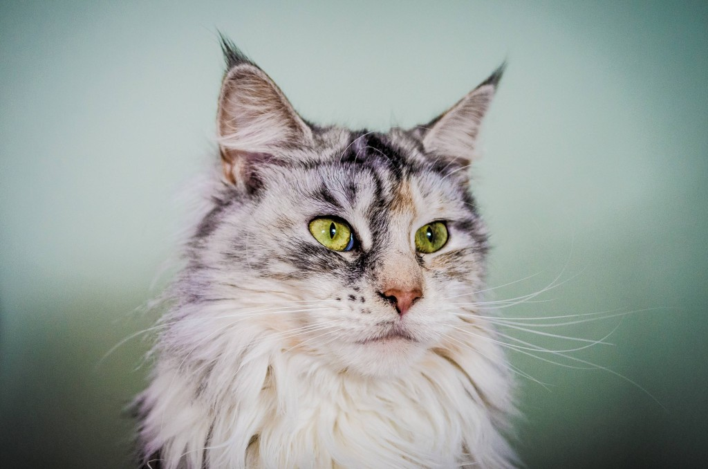 Animals___Cats_Silver_Maine_Coon_cat_with_green_eyes_045531_