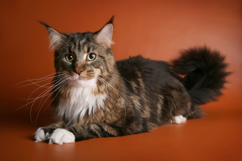 maine-coon-usy