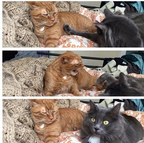 Смешной рыжий и серый кот