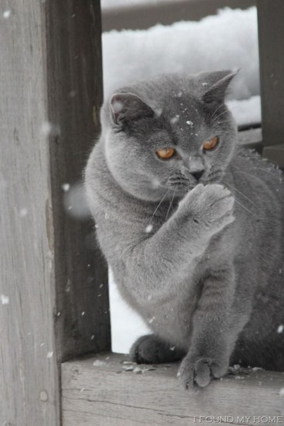 Дымчатая кошка смотрит в окно