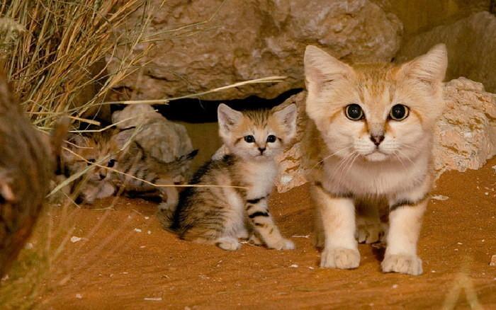 Барханная кошка фото