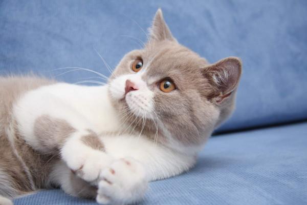 Британская кошка лилового окраса