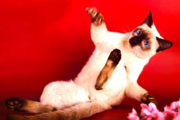 Сиамская тайская кошка