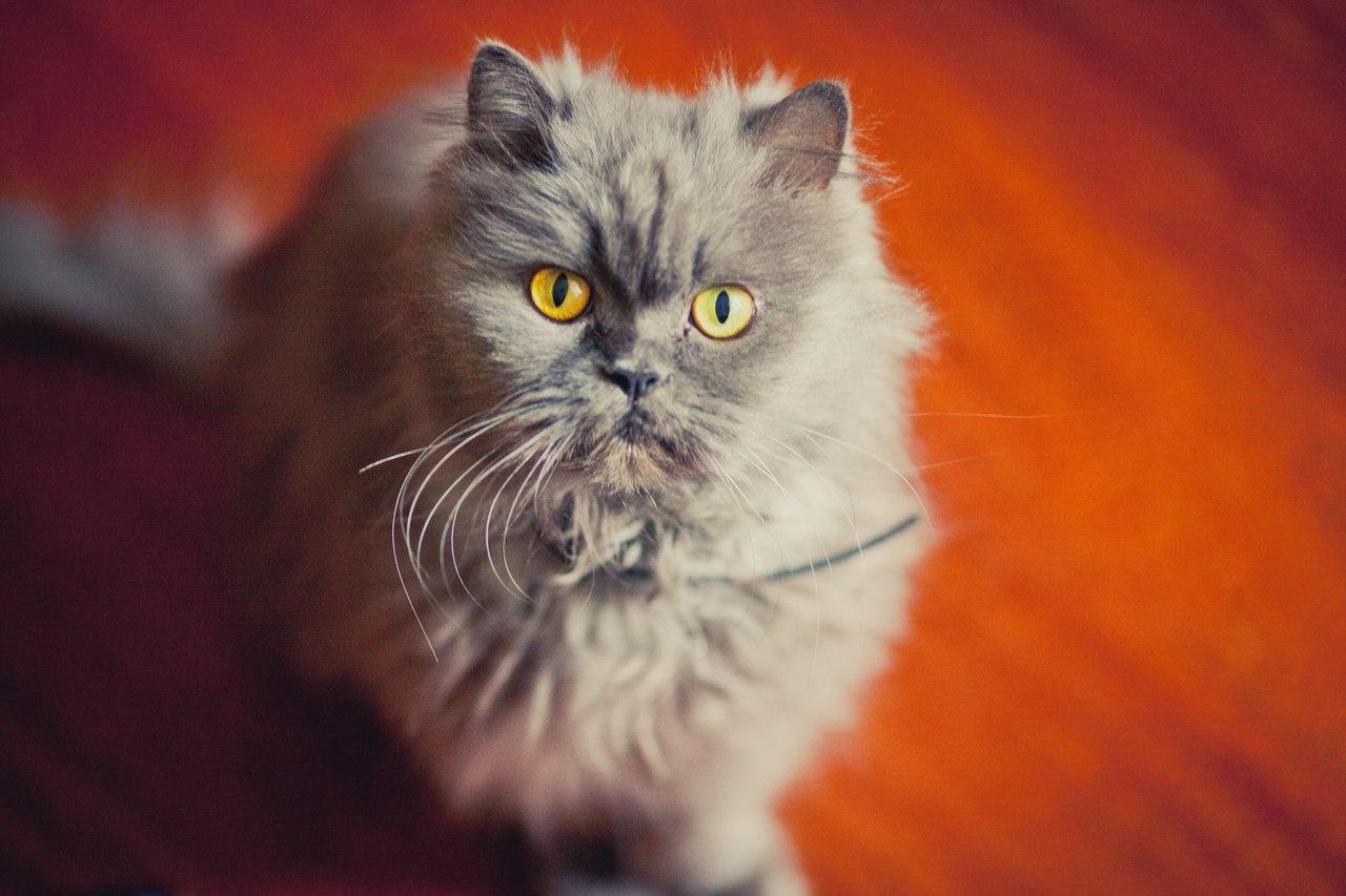 Серый персидский кот