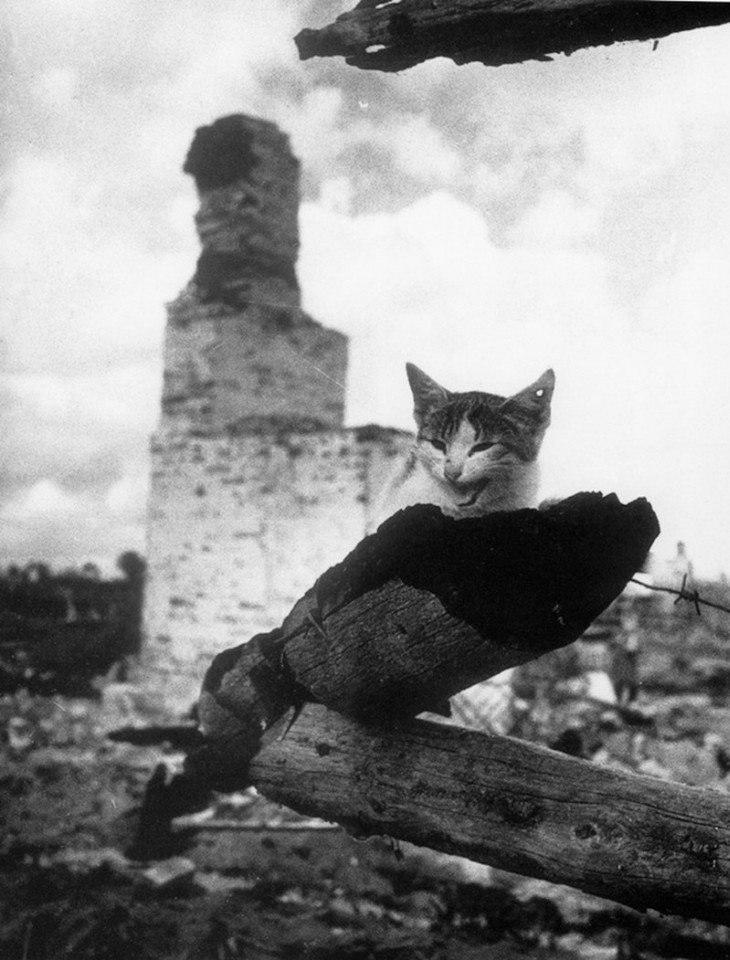 Кот с простреленным ухом.1943 год.