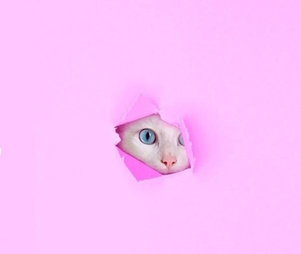 Белый кот на розовом фоне