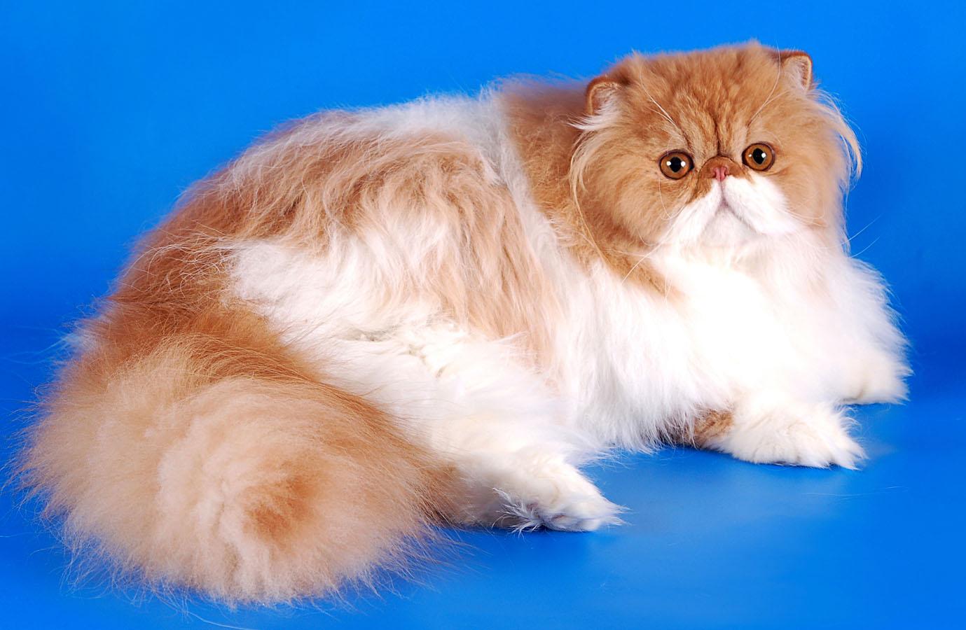 Бело рыжая персидская кошка