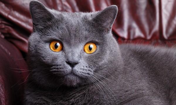 Британские серые кошки