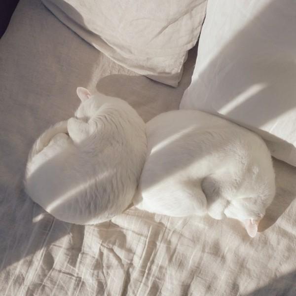 2 белых кота на белой кровате