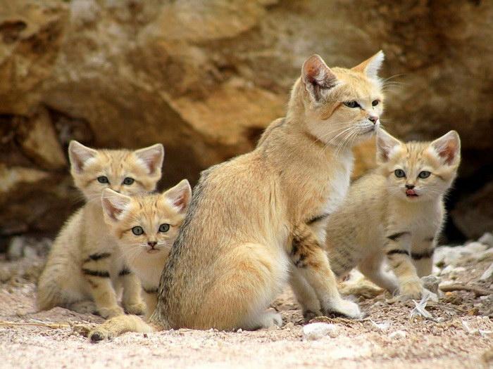 барханная кошка фото23