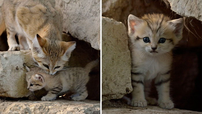 барханная кошка фото5565