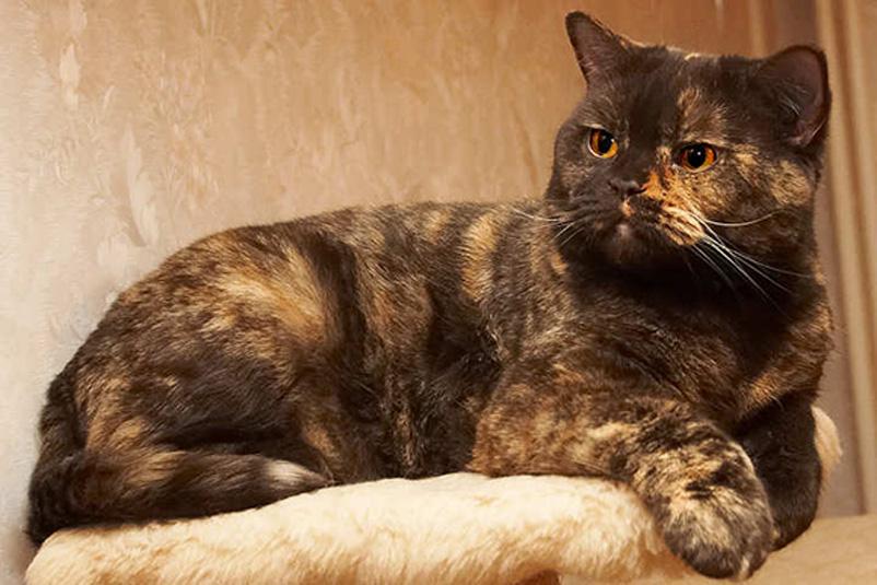 Британская кошка черепаховый окрас