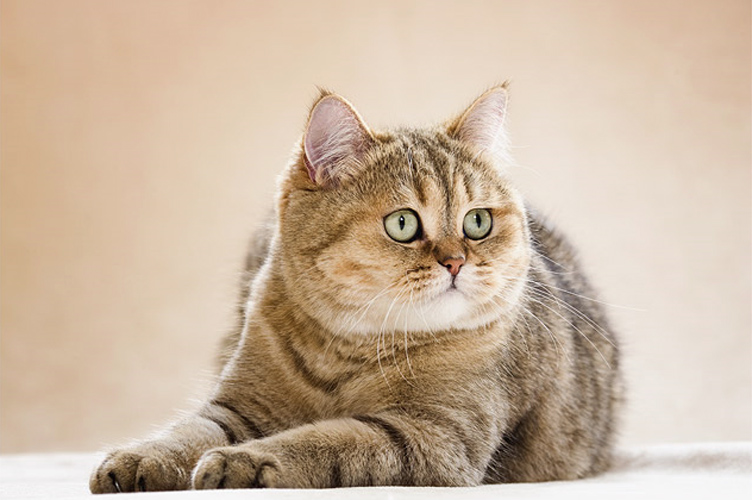 british-shorthair-shaded-gold-bri-ny11