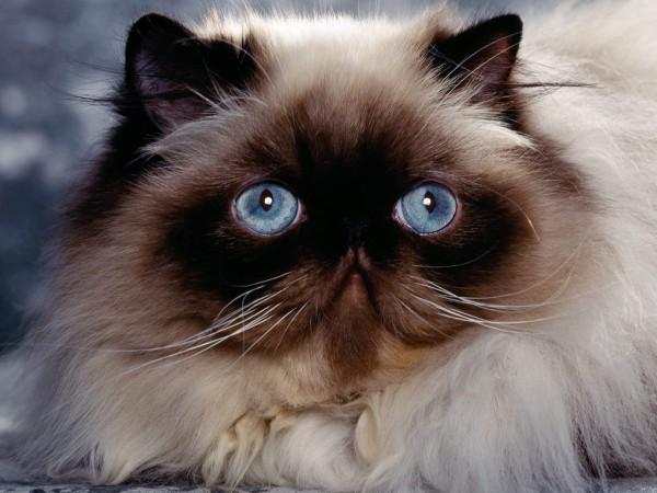 Сиамские кошки и котята