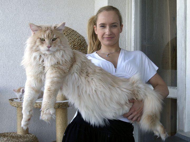 Самые большие коты мейн куны
