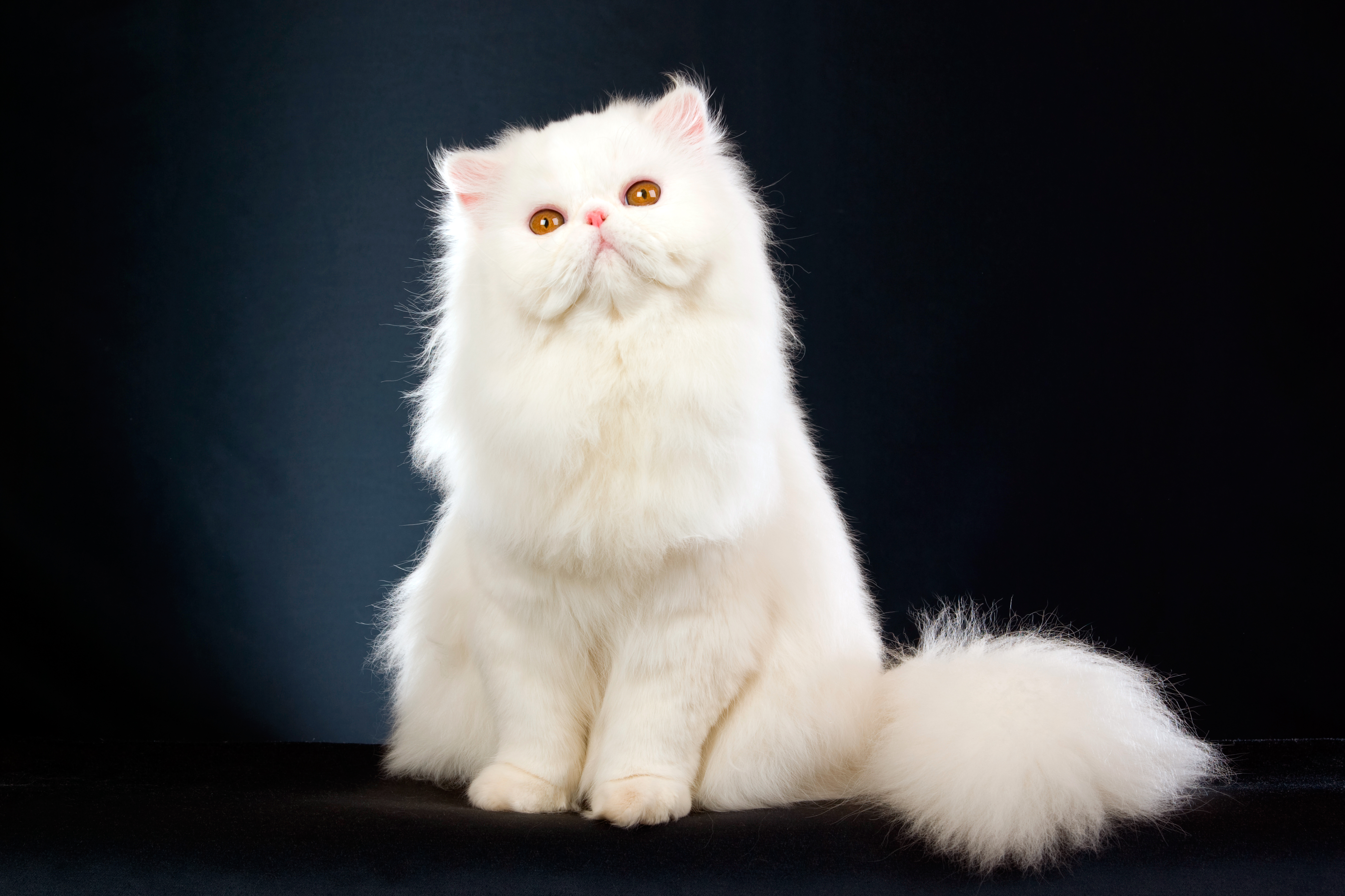Персидская белая кошка