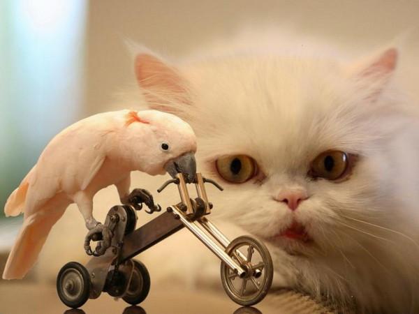 Белая персидская кошка и попугай