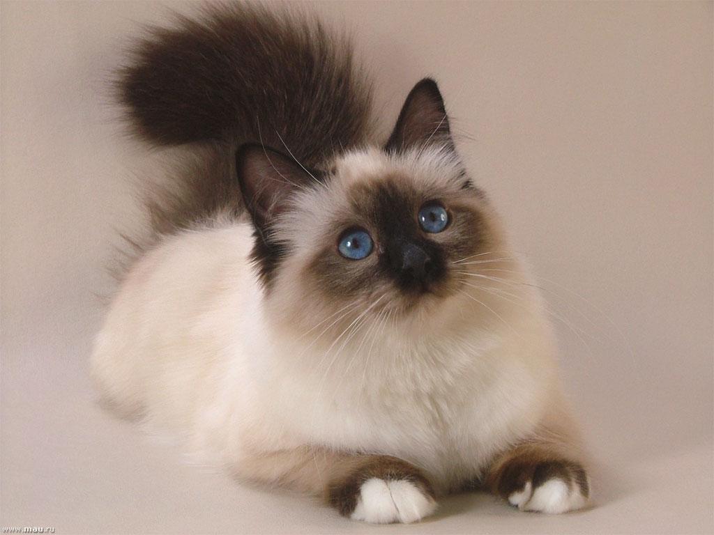 Сиамская пушистая кошка