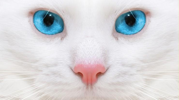 Взгляд белой кошки