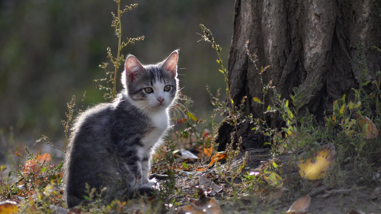 Серо белый котенок