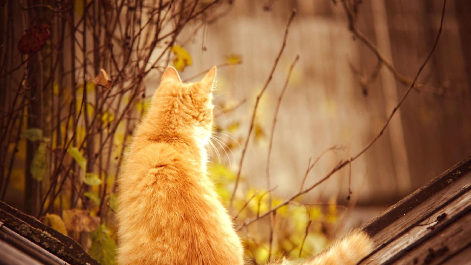Рыжий кот на крыше