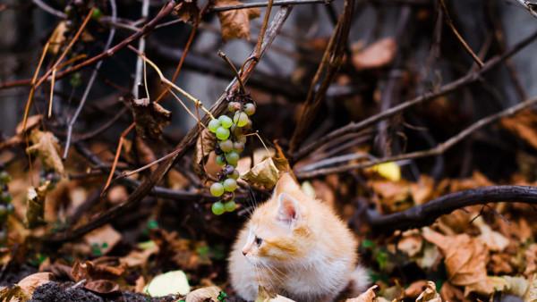 Рыжий пушистый котенок