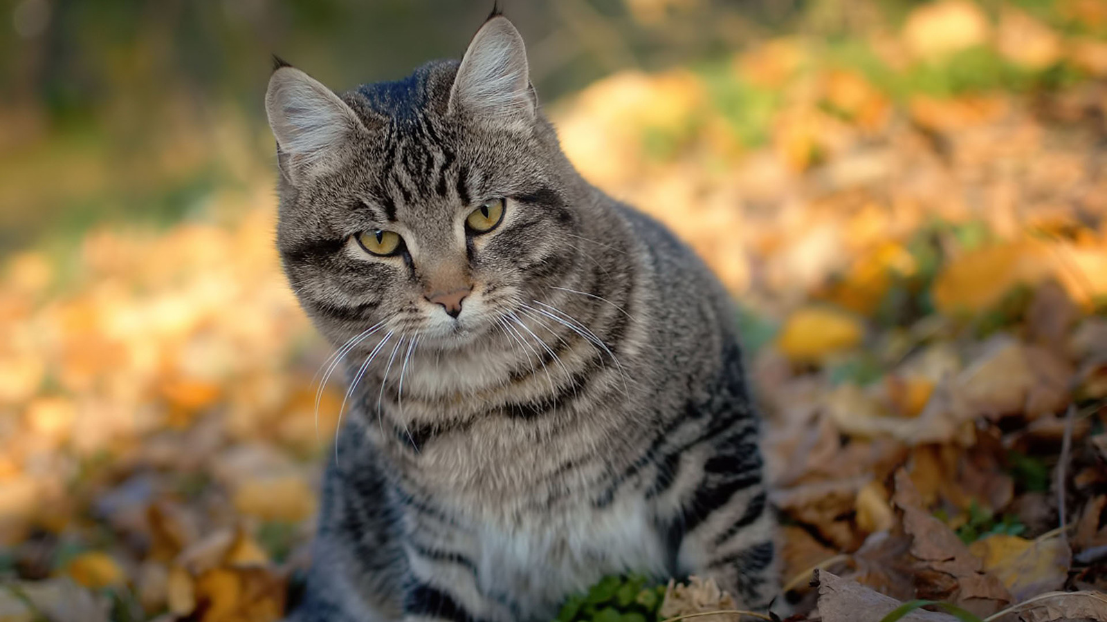 Фото серого полосатого кота