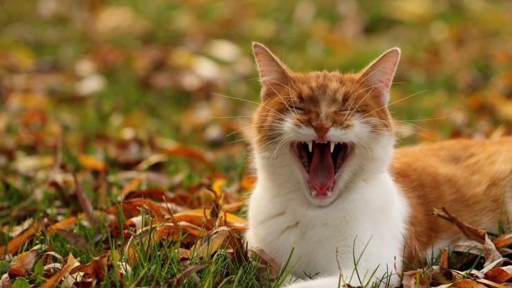 Кот зевает фото