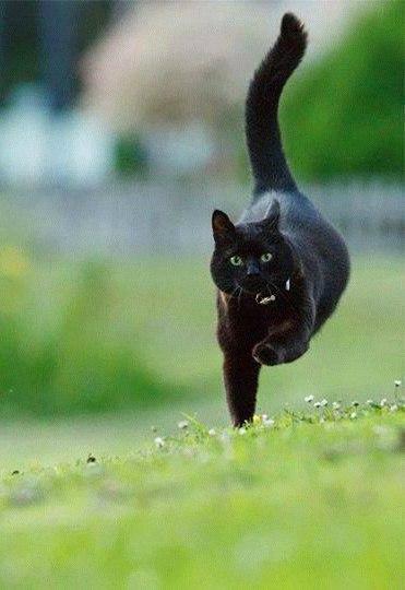 Черный кот бежит
